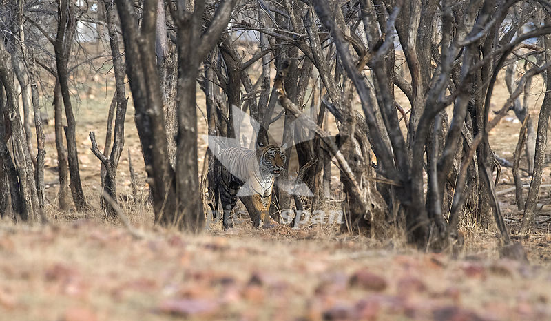 Tigress T84 Arrowhead - Royalty free stock photo, image