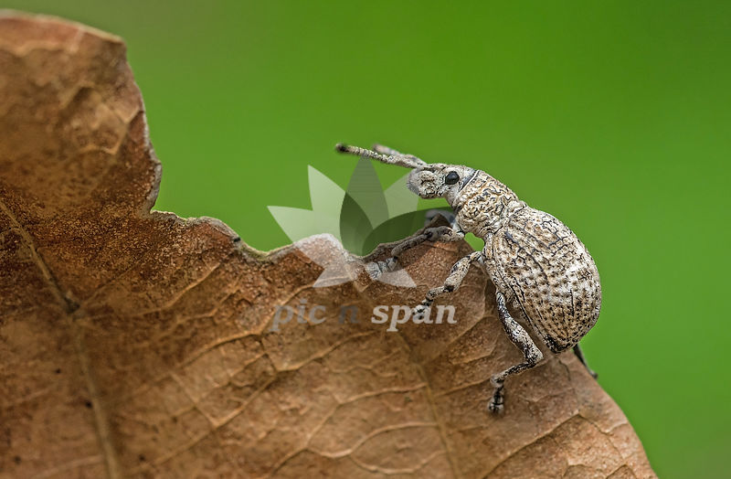 Weevil - Royalty free stock photo, image