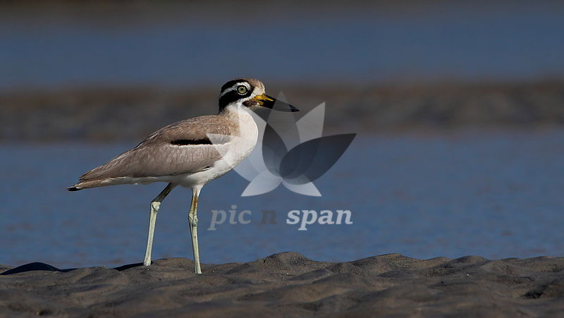 Great Thick-knee - Royalty free stock photo, image