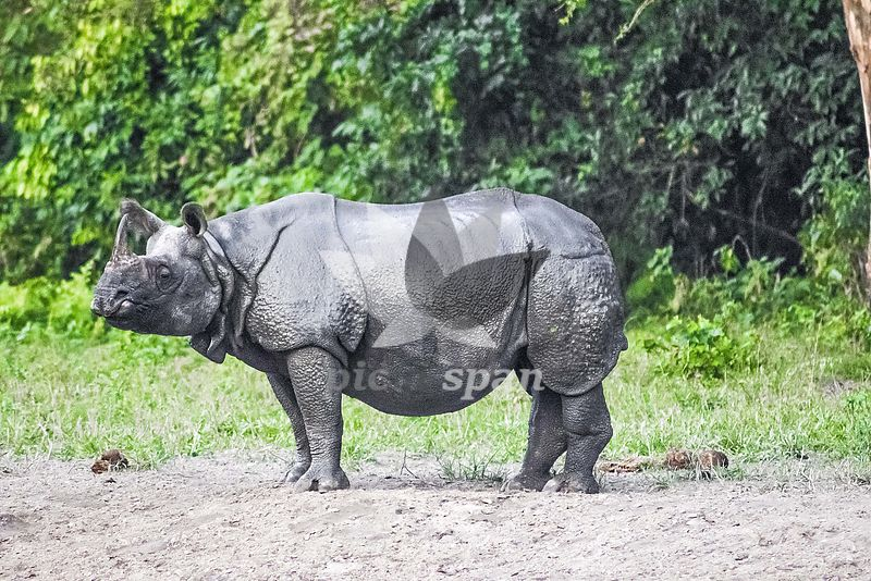 Indian rhinoceros - Royalty free stock photo, image