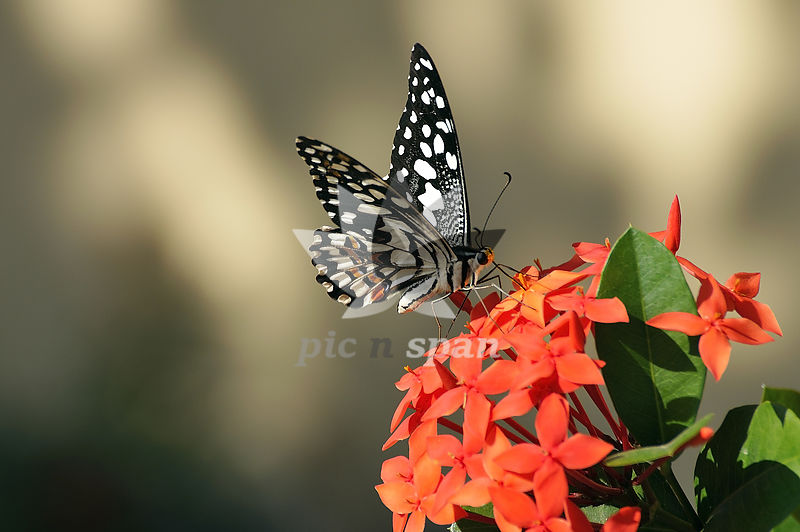 Butterfly - Royalty free stock photo, image