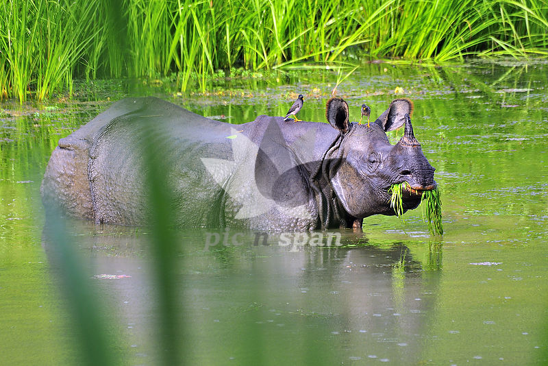 Rhino - Royalty free stock photo, image