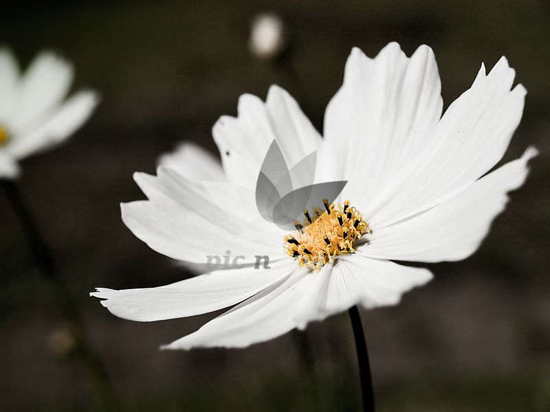 Photo White Cosmos Flower Rf Stock Photo Image Pic N Span