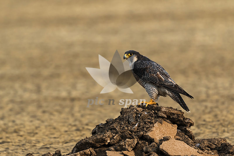 Peregrine falcon - Royalty free stock photo, image