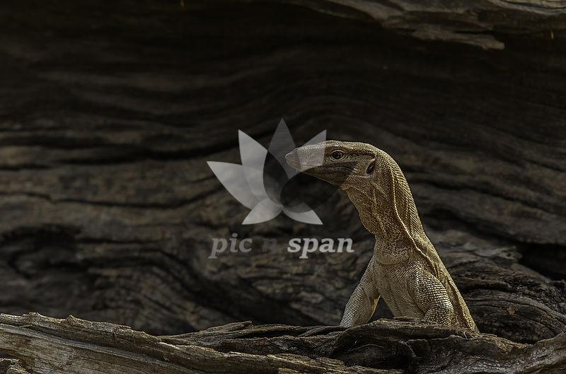 Monitor Lizard - Royalty free stock photo, image