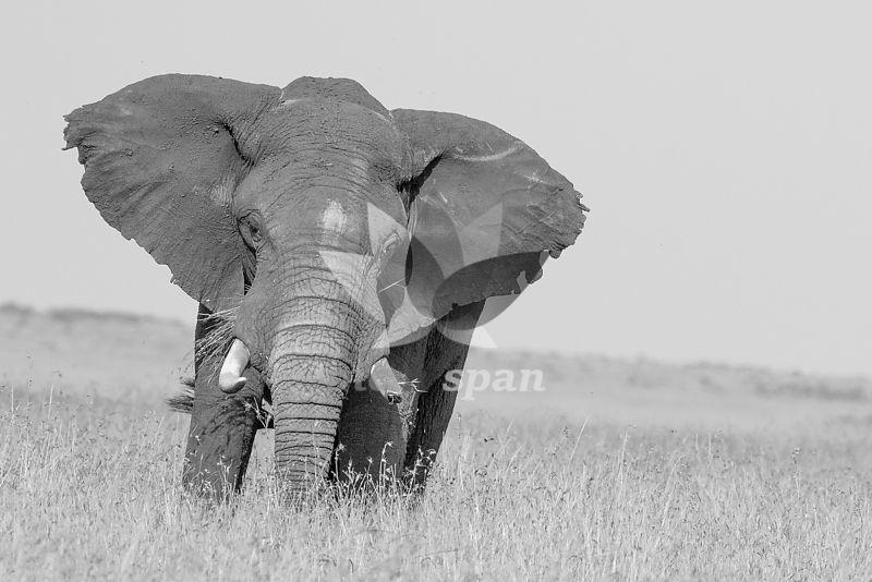 Male Elephant - Royalty free stock photo, image
