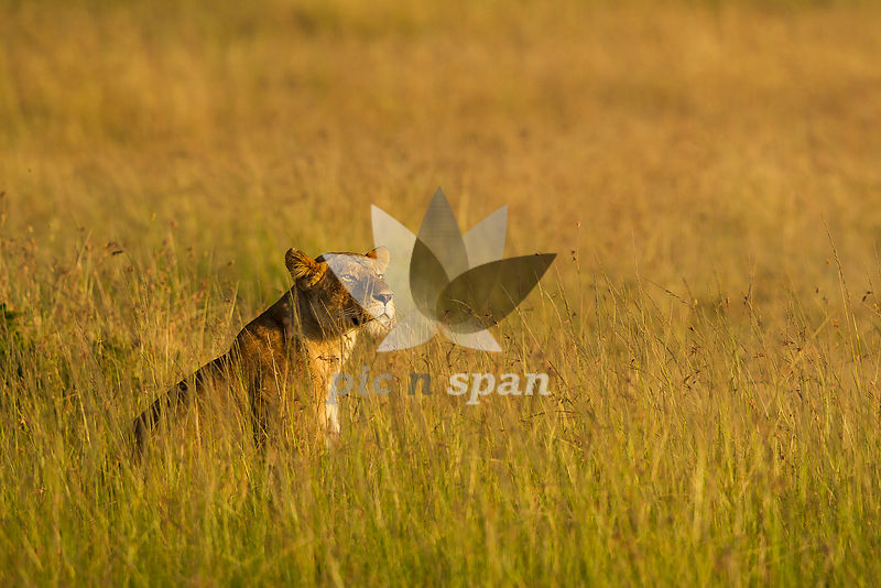 Lioness in golden light - Royalty free stock photo, image