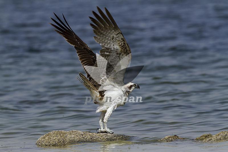 Osprey - Royalty free stock photo, image