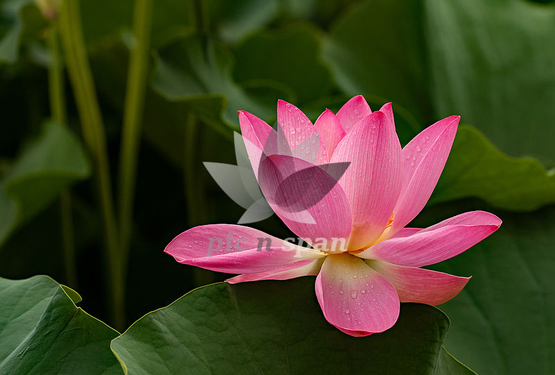 THE LOTUS - Royalty free stock photo, image