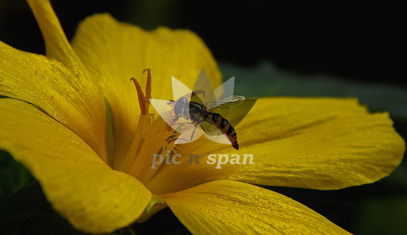 Bee - Royalty free stock photo, image
