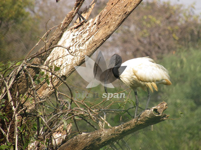 Bird. Searching for twigs for nest. - Royalty free stock photo, image