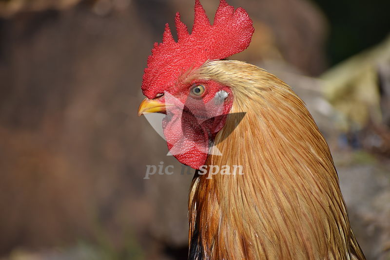 The Rooster - Royalty free stock photo, image